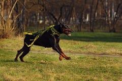 Black dog Doberman Pinscher running Royalty Free Stock Images
