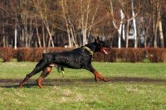 Black dog Doberman Pinscher running Stock Images