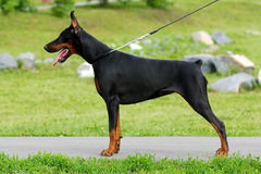 The black dog is a Doberman Stock Photos