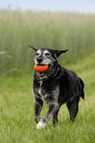 Black dog with dog-toy Stock Image