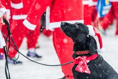 Black dog dressed up as santa participates in charity event Stockholm Santa Run in Sweden.  Stock Photography