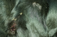 Black dog ear with wound attacked by swarm of flies. Close up of black dog ear with wound attacked by swarm of flies Royalty Free Stock Image