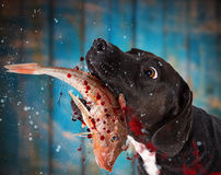 Black dog eating raw fish. Black dog eating raw fish, close-up Royalty Free Stock Images