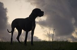 Black dog on evening field Royalty Free Stock Photos