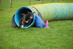 Black Dog Exits Tunnel. Black dog exits an agility tunnel while competing in dog agility Royalty Free Stock Photography