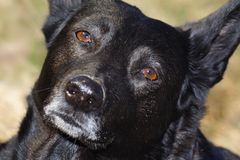 Black Dog Face Stock Photo
