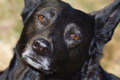 Black Dog Face Stock Photo