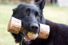 Black dog with fetch. And ball outdoors stock images