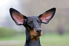 Black dog flying ears Royalty Free Stock Photo