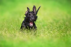 Black dog funny portrait. Giant schnauzer dog funny close up portrait on green grass royalty free stock photos