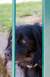 Black dog at gate, home alone, guards garden. Stock Photography