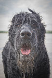 Black dog. The giant Schnauzer dog breed. The best friend Royalty Free Stock Photography