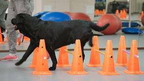 Black dog goes through the barrier stock video