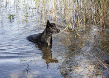 Black dog going out from lake water Royalty Free Stock Photo