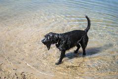 Black Dog Going Out Of The Wather. The dog in the water, swim, splash, walk Royalty Free Stock Photo
