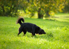 Black dog on grass. In park Stock Photos