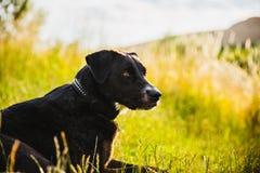 Black dog grass Stock Images