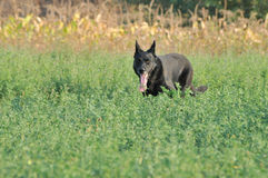 Black dog on grass Royalty Free Stock Images