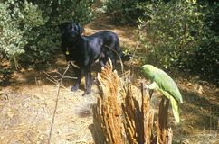Black dog and green parrot Stock Photography