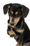 Black dog is greeting with paw. Elegant dog is sitting and giving right paw Stock Photography