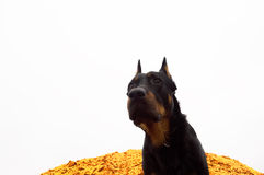 Black dog guarding the golden sand Stock Photo