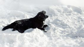 Black Dog Half-breed Labrador Retriever On The Snow Royalty Free Stock Photos