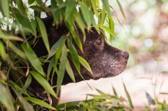 Black dog hiding in the bushes Royalty Free Stock Images