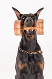Black dog holding dumbbell with click training Royalty Free Stock Photos