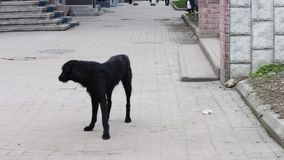 Black Dog homeless on the street asks passers food. Mongrel dog walking down the street and looking at people stock video footage