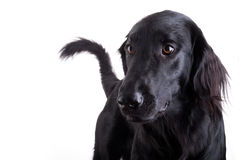 Black Dog Royalty Free Stock Photos
