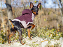 black dog in jacket stands in the forest on the rocks Royalty Free Stock Photo