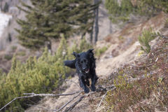 Black dog jumping over obstacle in nature. He train for agility competition on a fun way on a everyday dog walks Stock Image