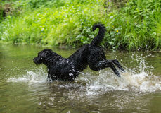 Black dog is jumping in the water. Royalty Free Stock Image