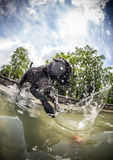 Black dog is jumping in the water. Stock Photos
