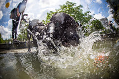 Black dog is jumping in the water. Stock Photo