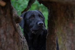 Black dog Labrador look in the forest between two trees royalty free stock images