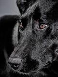 Black dog 108 Stock Photography