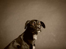 Black dog (59) Royalty Free Stock Photos