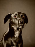 Black dog (58) Royalty Free Stock Photo
