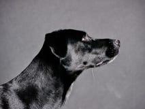 Black dog (77) Stock Image