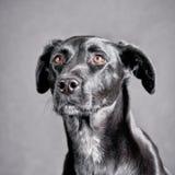 Black dog 160 Royalty Free Stock Image