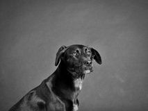 Black dog (87) Royalty Free Stock Photos