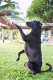 Black dog Labrador outdoor training process Stock Photography