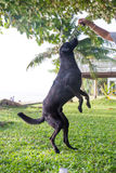 Black dog Labrador outdoor training process Royalty Free Stock Photography