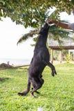 Black dog Labrador outdoor training process Stock Photo