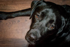 Black dog Labrador Retriever lying on the floor.  royalty free stock photography