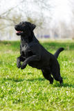 Black dog Labrador Retriever runs and jumps on its hind legs Royalty Free Stock Images