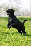 Black dog Labrador Retriever runs and jumps on its hind legs. Black dog Labrador Retriever plays in the summer, runs and jumps on its hind legs royalty free stock images