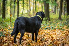Black dog Labrador Retriever standing in the forest during autumn, dog has green collar, orange leaves are around.  royalty free stock image