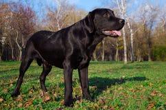 Black dog. Black labrador retriever standing in the park stock photos
